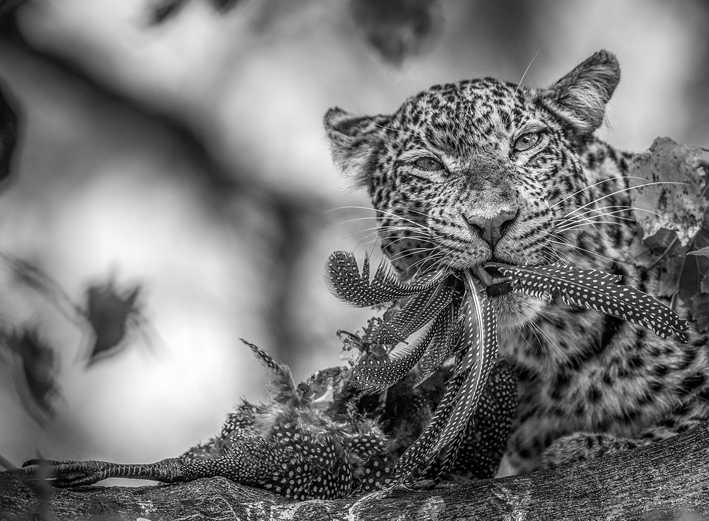"(c) Jaco Marx, South Africa, Entry, Open Competition, 2015 Sony World Photography Awards ""The Feast"" A leopard feasting on a helmeted guineafowl, monochrome. Taken at Mashatu, Botswana."