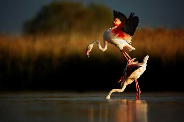 (c) Ji?í Míchal, Czech Republic, Entry, Open Competition, 2015 Sony World Photography Awards 'Greater Flamingo' Greater Flamingo from Camarque