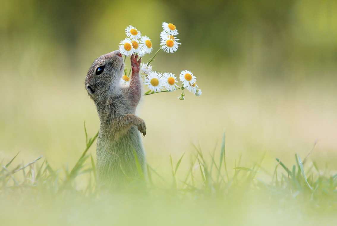 (c) Julian Ghahreman-Rad, Australia, Entry, Open Competition, 2015 Sony World Photography Awards 'Let me have a Smell' by Julian Ghahreman-Rad This photo shows an european ground squirrel sniffing a flower. With a tiny paw the squirrel brings the buds close enough to touch his nose, after time spending sniffing out its favourite bud, the squirrel takes a bite of its pick of the bunch.