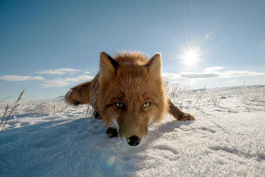 wild-foxes-photography-ivan-kislov-15_image