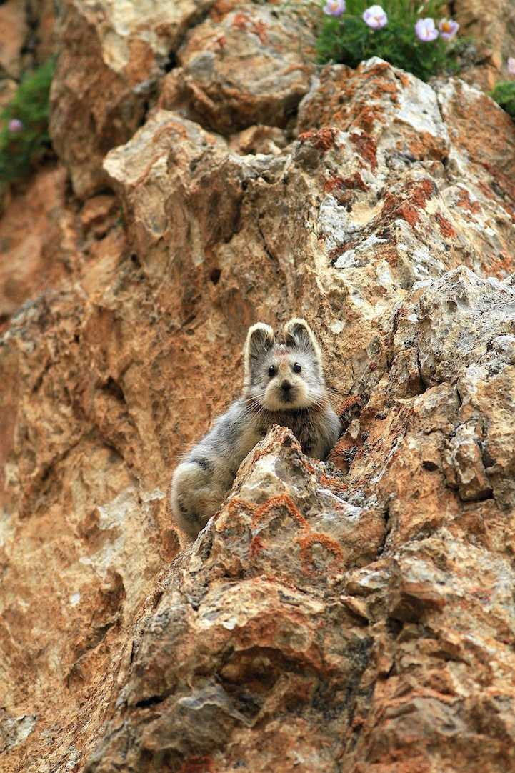 Native to the Xinjiang region of China, there are only 1,000 if these tiny, cute creatures, known as the Ili pika, left. The species was photographed for the first time in more than 20 years on July 9, 2014.