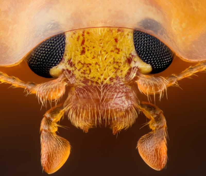 Head section of an orange ladybird | Photo credit: Geir Drange
