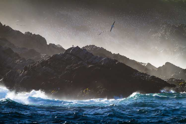 A Black-browed Albatross flies through the morning mist above the rocks of Steeple Jason Island in the Falkland Islands, (Islas Malvinas).