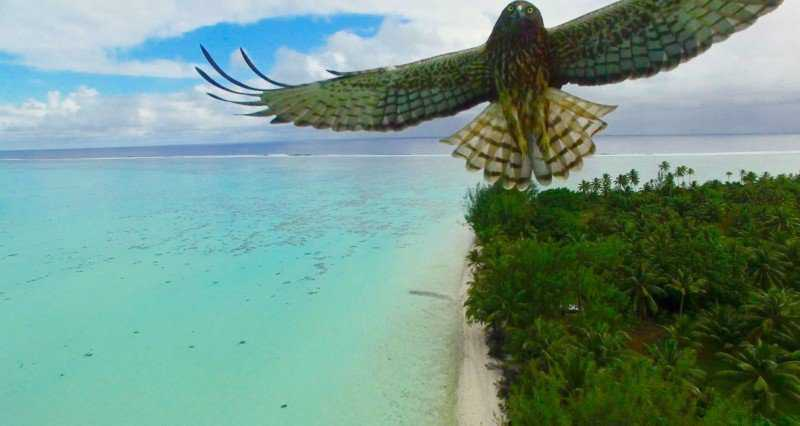 bird-attack-in-french-polynesia-by-actua-drone-800x426