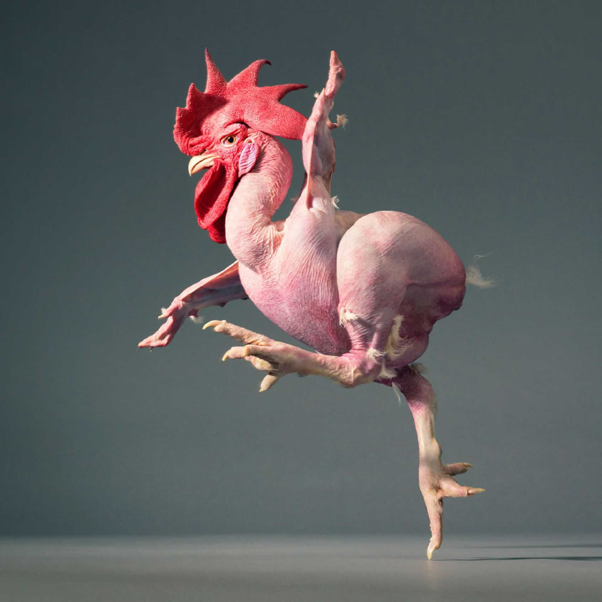картинки общипанная курица