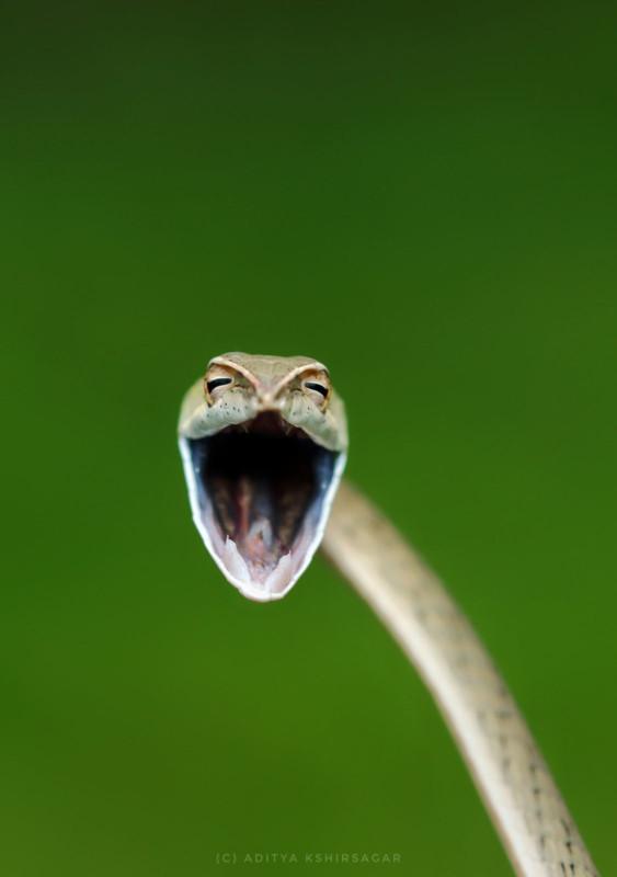Aditya-Kshirsagar_Laughing-Snake_0000572